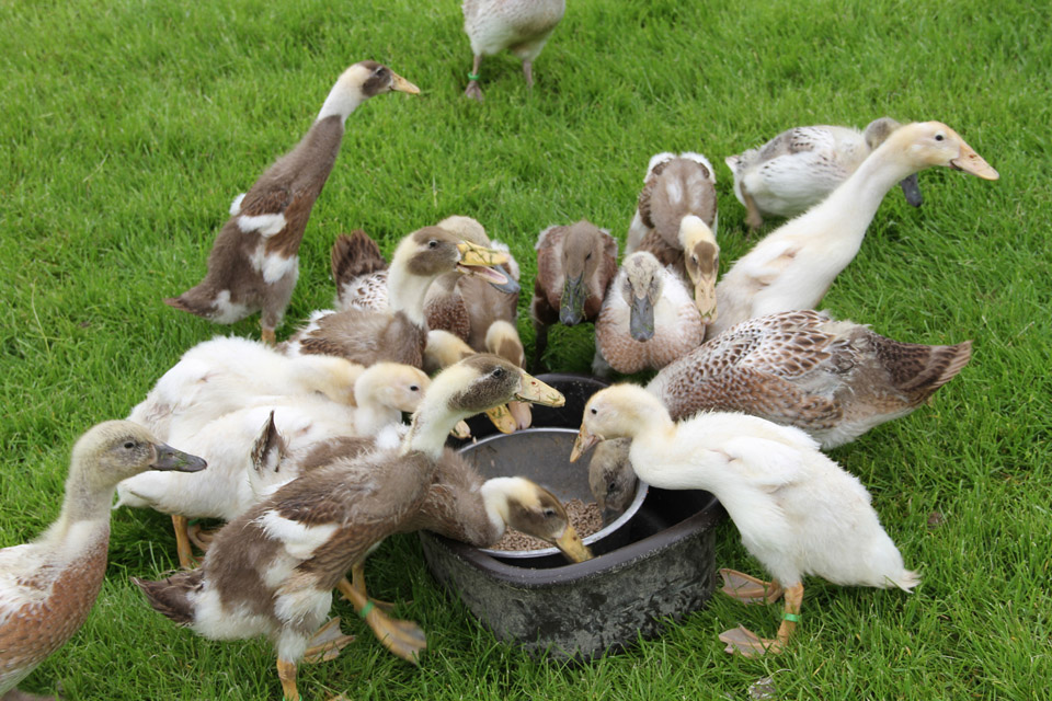 Picture of ducklings feeding