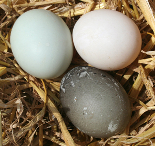 Picture of Indian Runner Duck eggs in various colours