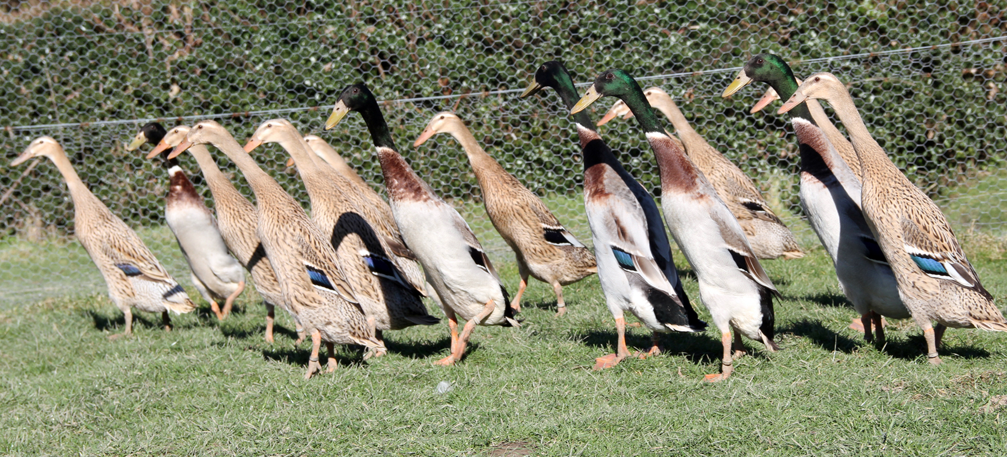 Indian Runner Duck Club | Welcome