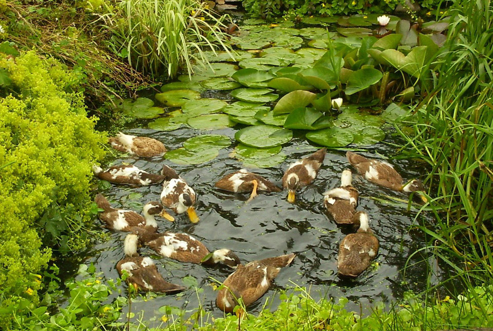 Indian runner duck club making the ideal decorative duck for Oxygenating plants for a small pond